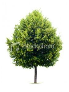 stock-photo-10044190-linden-tree