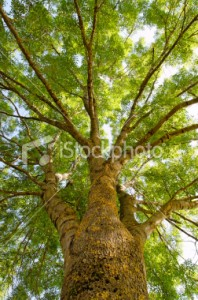 stock-photo-10880169-ash-fraxinus-excelsior